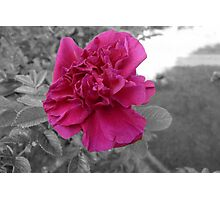 Rose in Selective Color Photographic Print