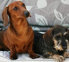 Mini smooth and mini wire dachshund friends by Joanne Emery
