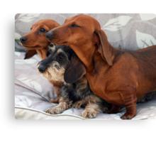 Three dachshund puppies playing Canvas Print
