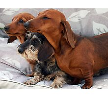 Three dachshund puppies playing Photographic Print