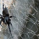 Australian black house spider on the web by Joanne Emery