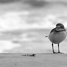 Plover by Mark Theriault