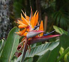 Birds of Paradise by markrt