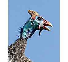 Helmeted Guinea Fowl Photographic Print