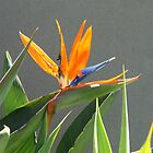 Strelitzia - Bird of Paradise by Maggie Hegarty