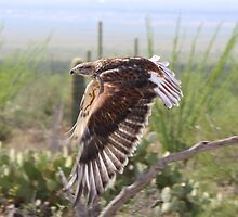 """Angel wings"" Ferruginous Hawk by Sherry Pundt"