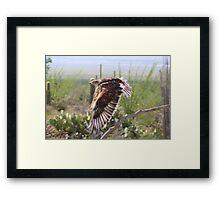 """Angel wings"" Ferruginous Hawk Framed Print"