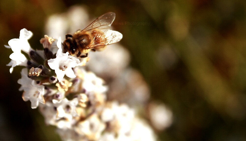 Bumblebee. by Oceanna Solloway