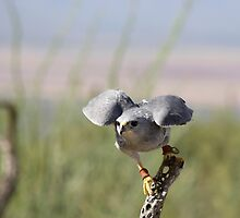 """Encouragement"" Grey Hawk, Raptor by Sherry Pundt"