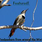 Northern Flicker (Red-shafted) ~ Female (Banner) by Kimberly Chadwick