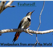 Northern Flicker (Red-shafted) ~ Female (Banner) Photographic Print