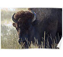 Bison - National Bison Range, Montana Poster