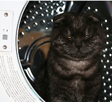 Scottish Fold Cat in a tumble dryer! by Joanne Emery