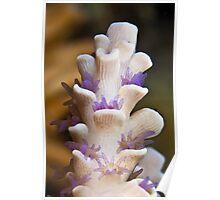 Purple polyps Poster