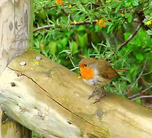 Robin Redbreast by Chris Goodwin