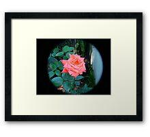 orange rose through tele lens Framed Print