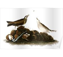 Brown Titlark (now American Pipit) Poster