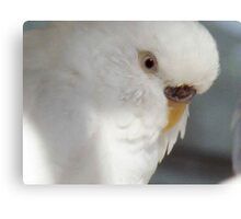 White as Snow - Budgie Canvas Print