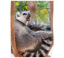Ring tailed Lemur relaxing Poster