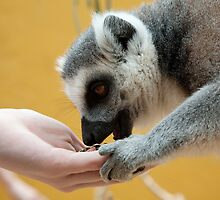 Hand feeding a ring tailed lemur by Martyn Franklin