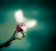 Peach Blossoms by Guy Hoffman (aka creative365)