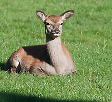 *YOUNG DOE* Red deer by Elaine123