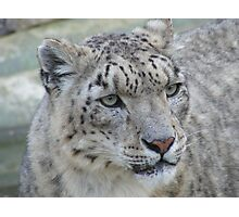 Snow Leopard - Marwell Wildlife Photographic Print