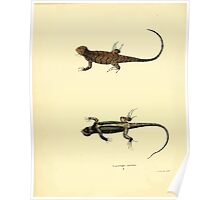 North American Herpetology A Desciption of the Reptiles Inhabiting the United States Chichowski John Edwards Holbrook 1840  0090 Lizard Poster