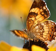 Harris' Checkerspot nectaring Orange Coneflower by geekinthegarden