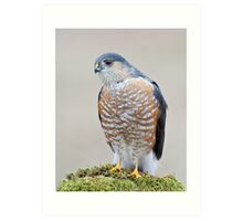A Sharp Shinned Hawk Visits Art Print