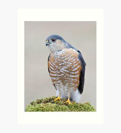 A Sharp Shinned Hawk Visits Art Print