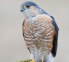 A Sharp Shinned Hawk Visits by geekinthegarden