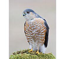 A Sharp Shinned Hawk Visits Photographic Print