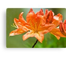 Sort of Lily Canvas Print
