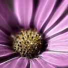 Daisy by fotoholic