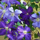Purple Shades of Clematis by © Betty E Duncan ~ Blue Mountain Blessings Photography