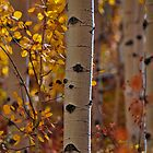 Aspen Trunk by Reese Ferrier