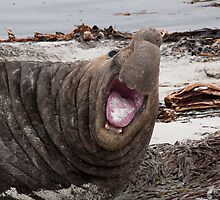 Bull Elephant Seal - Sea Lion Island West Falkland by Ayla Holdom