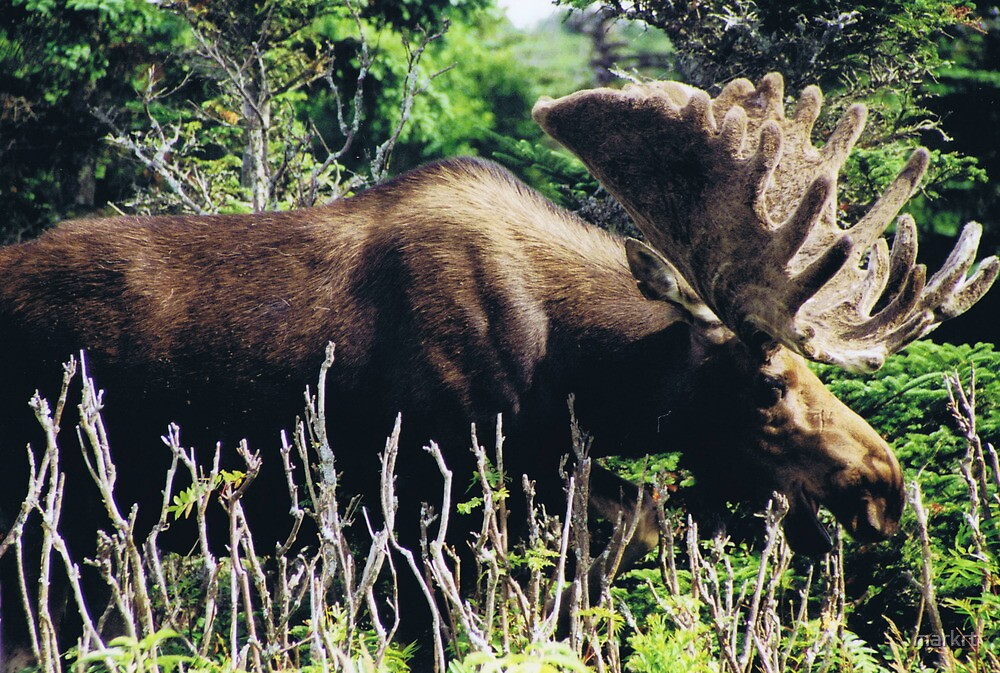 Moose on Cabot Trail in Nova Scotia by markrt