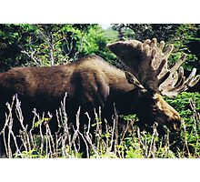 Moose on Cabot Trail in Nova Scotia Photographic Print