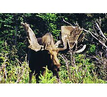 Moose on Cabot Trail 2 Photographic Print