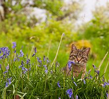 Cat in bluebells - Walking the woods in spring by Ayla Holdom