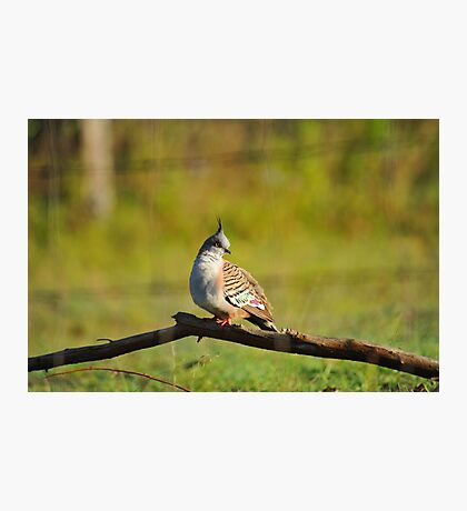 Crested Pigeon In Our Back Paddock. Brisbane, Queensland, Australia. Photographic Print