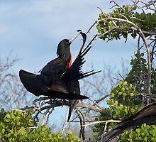 Frigid Bird Preening - Galapagos, Equador by Nina Brandin