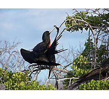 Frigid Bird Preening - Galapagos, Equador Photographic Print
