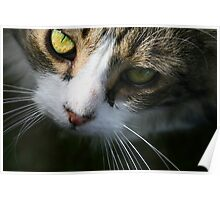 Close up of beautiful long haired tabby cat with green eyes Poster