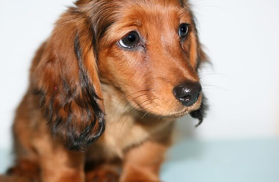 Miniature long haired dachshund puppy looking sad by Joanne Emery