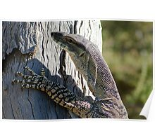 Lace Monitor Lizard Poster