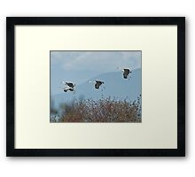 Sandhill Cranes Coming In Framed Print