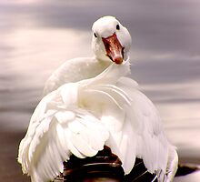 Goose cleaning  by TomSpencer